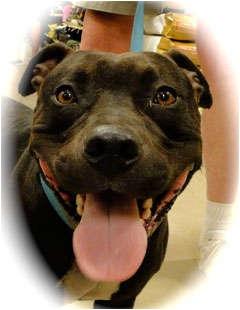American Staffordshire Terrier Mix Dog for adoption in Schertz, Texas - Koal