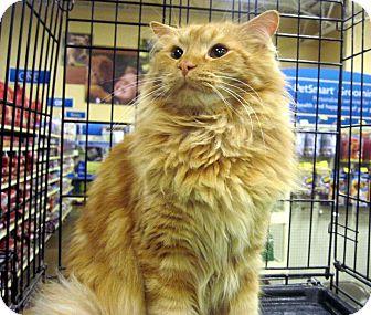 Domestic Longhair Cat for adoption in Overland Park, Kansas - Butternut