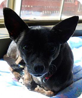 Chihuahua Dog for adoption in dewey, Arizona - Evie