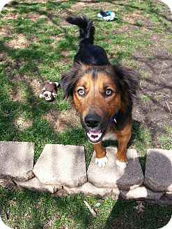 Collie/German Shepherd Dog Mix Dog for adoption in Orland Park, Illinois - Frazier