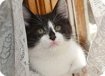 Domestic Shorthair Kitten for adoption in Berlin, Connecticut - Little-Miss-Fancy-Pants-PENDIN