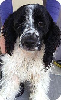 Cocker Spaniel/Springer Spaniel Mix Dog for adoption in Sacramento, California - Shepp