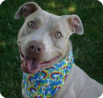 American Pit Bull Terrier Mix Puppy for adoption in Auburn, California - Wilson - $100 ADOPTION GRANT!