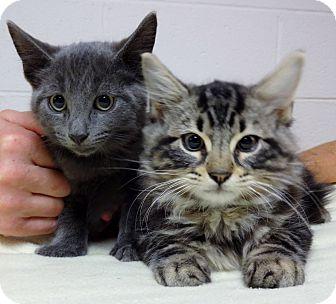 Domestic Shorthair Kitten for adoption in Marietta, Georgia - FLYNN