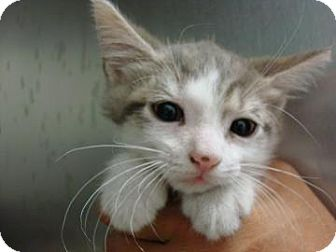 Domestic Shorthair Kitten for adoption in Miami, Florida - Winfred