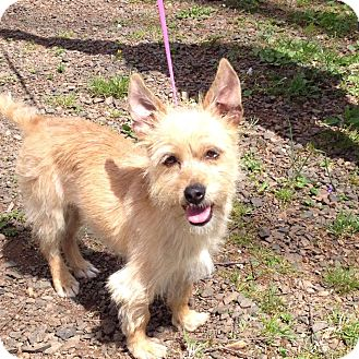 Cairn Terrier Mix Dog for adoption in West Milford, New Jersey - BUTTERCUP 8 lbs.