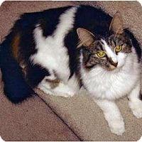 Domestic Longhair Cat for adoption in Battle Ground, Washington - Mini-Me