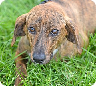 Coonhound Mix Dog for adoption in Martinsville, Indiana - Louisa