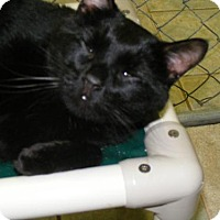 Domestic Shorthair Cat for adoption in East Smithfield, Pennsylvania - George