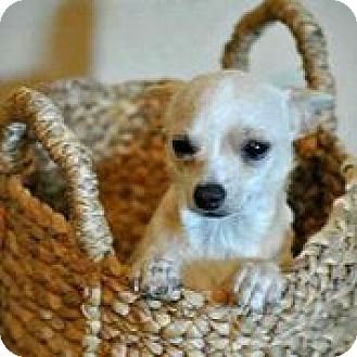 Chihuahua Dog for adoption in Austin, Texas - Pablo