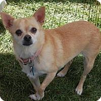 Adopt A Pet :: Lexi   8 Years - C/S & Denver Metro, CO