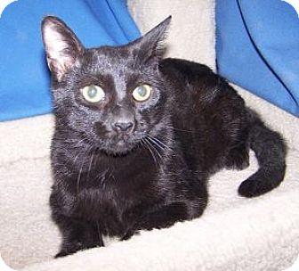 Domestic Shorthair Cat for adoption in Colorado Springs, Colorado - Leo