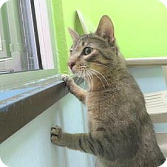 Domestic Shorthair Cat for adoption in Janesville, Wisconsin - Pikachu