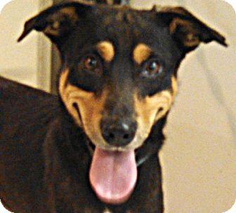 German Shepherd Dog/Hound (Unknown Type) Mix Puppy for adoption in Maquoketa, Iowa - Siren