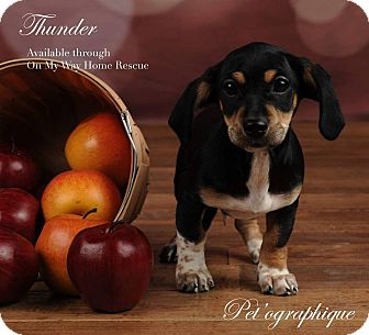 Chihuahua/Dachshund Mix Puppy for adoption in Henderson, Nevada - Thunder