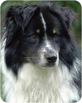 Australian Shepherd Dog for adoption in Tacoma, Washington - Tracker
