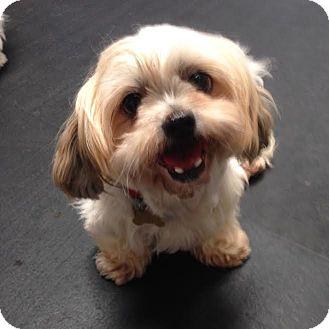 Shih Tzu Mix Dog for adoption in Los Angeles, California - IZABEL