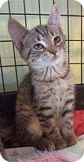 Domestic Shorthair Kitten for adoption in Breinigsville, Pennsylvania - Cheshire