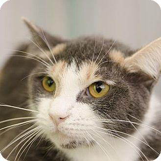 Domestic Shorthair Cat for adoption in Adrian, Michigan - Juno