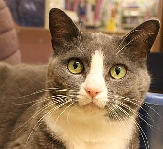 Domestic Shorthair Cat for adoption in Richmond Hill, Ontario - Piper