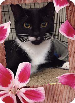 Domestic Shorthair Cat for adoption in Hallandale, Florida - Bella