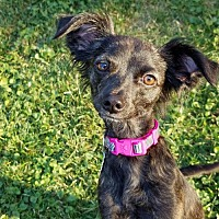 Adopt A Pet :: Lilly - Omaha, NE