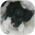Dachshund Puppy for adoption in Phoenix, Arizona - Sauerkraut