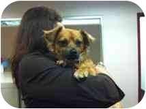 Chihuahua Mix Puppy for adoption in Albuquerque, New Mexico - Sonic