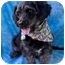 Photo 1 - Poodle (Miniature)/Terrier (Unknown Type, Small) Mix Dog for adoption in Phoenix, Arizona - Samantha
