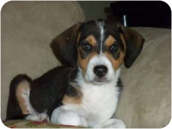 Beagle Mix Puppy for adoption in Mary Esther, Florida - Picasso