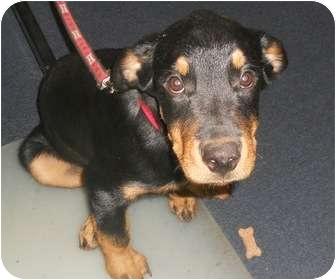 Rottweiler Mix Puppy for adoption in Sidney, Ohio - Bandit