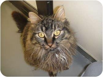 Domestic Longhair Cat for adoption in Barron, Wisconsin - Samuel