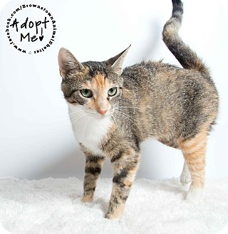 Domestic Shorthair Cat for adoption in Brownstown, Michigan - Lacey