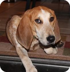 Redbone Coonhound Mix Puppy for adoption in Marlton, New Jersey - Cisco