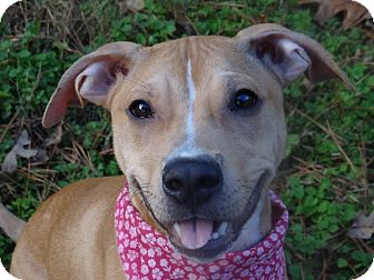 Hound (Unknown Type)/Pit Bull Terrier Mix Dog for adoption in Peachtree City, Georgia - Daphne