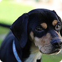 Adopt A Pet :: Pluto - Santa Monica, CA