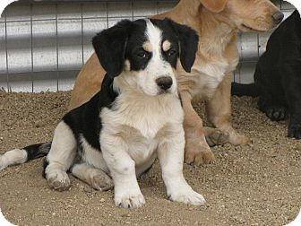Labrador Retriever/Dachshund Mix Puppy for adoption in Nuevo, California - CHARLIE