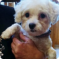 Adopt A Pet :: Sweet Irene - Topeka, KS