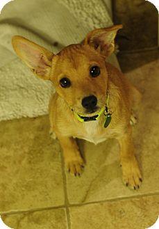 Border Terrier/Australian Terrier Mix Puppy for adoption in Memphis, Tennessee - Rosie