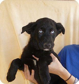 Husky/Labrador Retriever Mix Puppy for adoption in Oviedo, Florida - Ruby