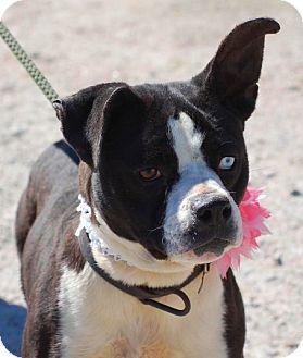 Boston Terrier/Boxer Mix Dog for adoption in North Augusta, South Carolina - SASHA