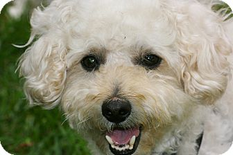 Bichon Frise/Poodle (Miniature) Mix Dog for adoption in Carlsbad, California - Casey