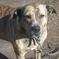 Pit Bull Terrier Mix Dog for adoption in Nashua, New Hampshire - Heidi