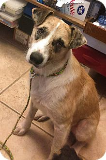 Catahoula Leopard Dog Mix Dog for adoption in Kirby, Texas - Slash