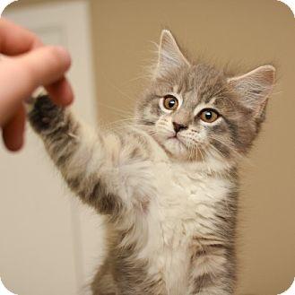 Domestic Shorthair Kitten for adoption in Edmonton, Alberta - Jerry