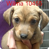 Adopt A Pet :: Wilma - Greencastle, NC