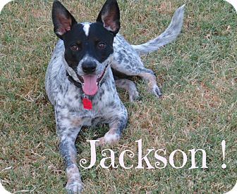 Australian Cattle Dog Mix Dog for adoption in Scottsdale, Arizona - Jackson