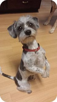 Schnauzer (Miniature)/Terrier (Unknown Type, Small) Mix Dog for adoption in Oviedo, Florida - Lou