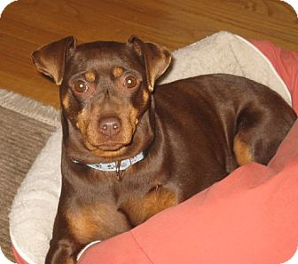 Miniature Pinscher Mix Dog for adoption in Clayton, California - Snickers