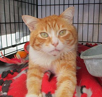 Domestic Shorthair Cat for adoption in Los Angeles, California - IVANS